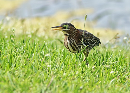 Green Heron immature stalking 04-20190710