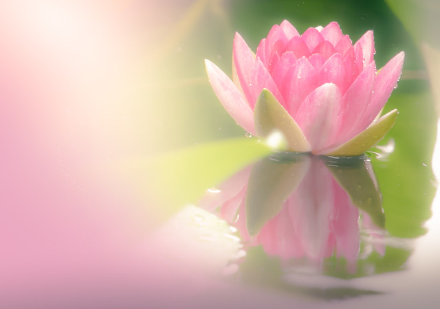 waterlily in  dream