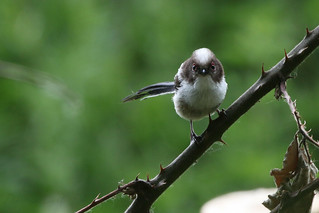 Long Tailed Tit  baby