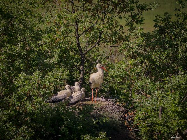 Familia de cigüeñas.