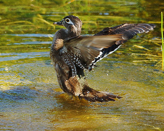 Wood Duck (Female) after Bathing | by pbcbob2