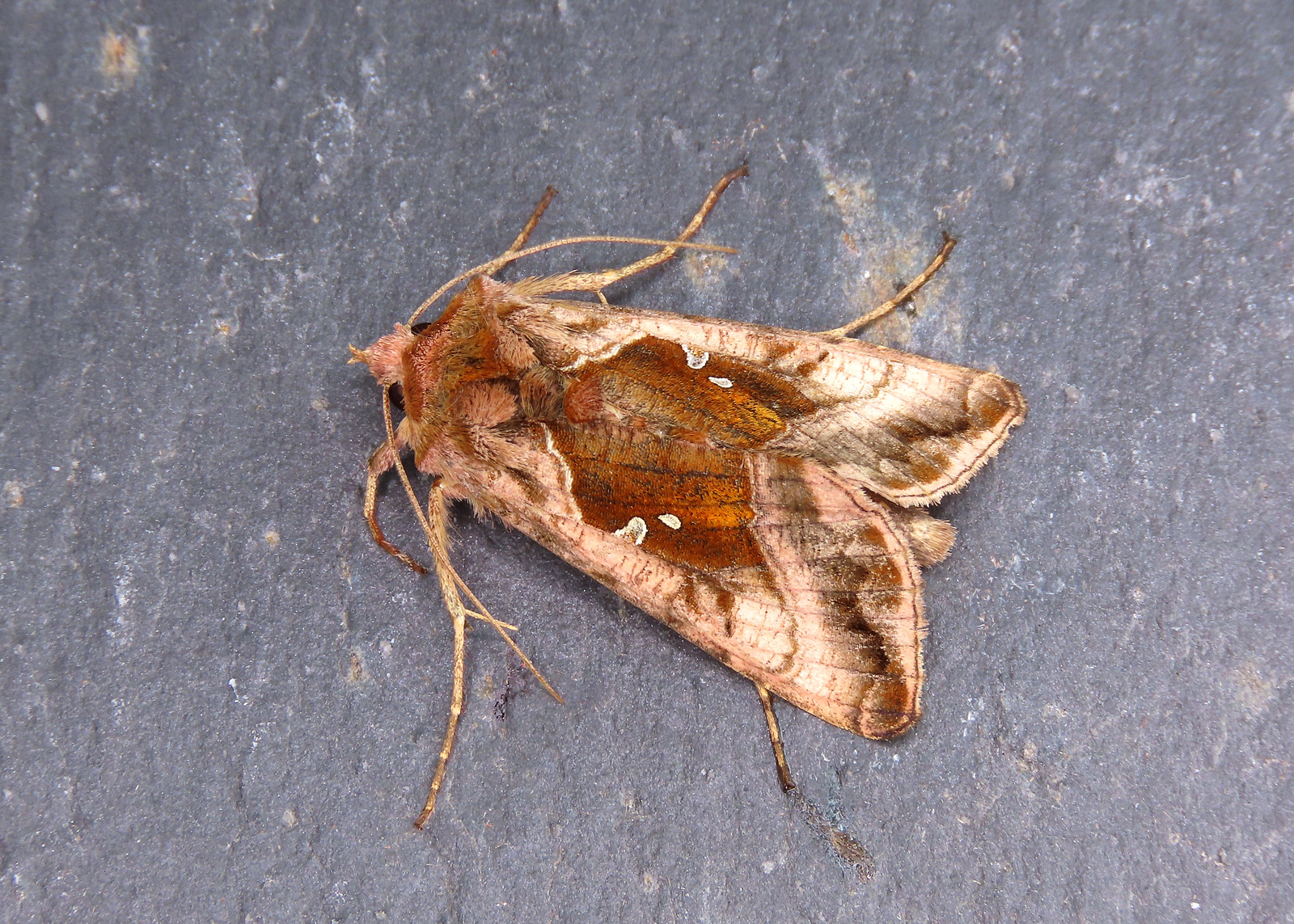 73.017 Plain Golden Y - Autographa jota
