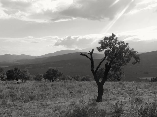 Arbre grec...Greek tree...
