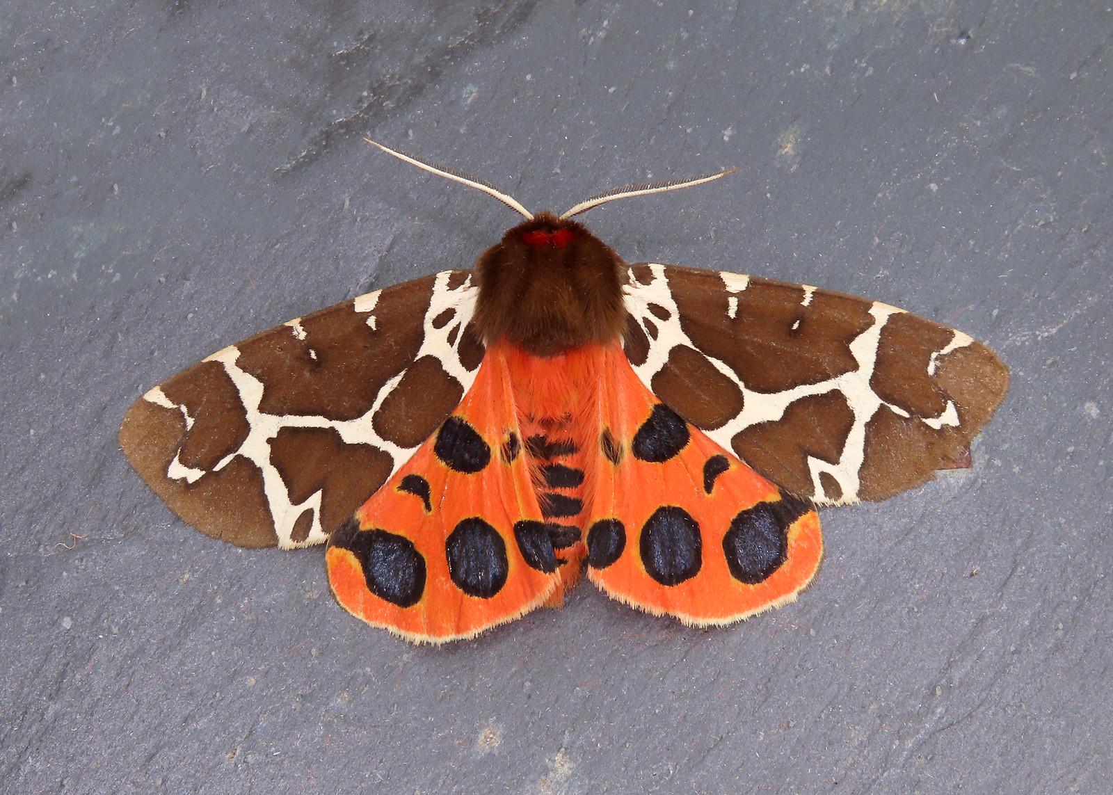 72.026 Garden Tiger - Arctia caja