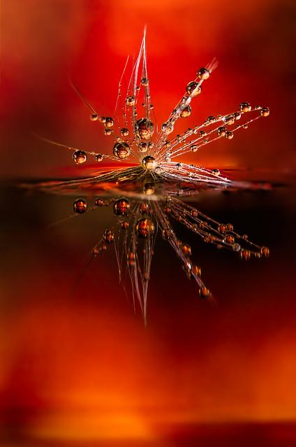 Fire walks with me - Drops e Flowers Gocce e Fiori Riflessi by Mario JR Nicorelli con Nikon D300s macro fotografia