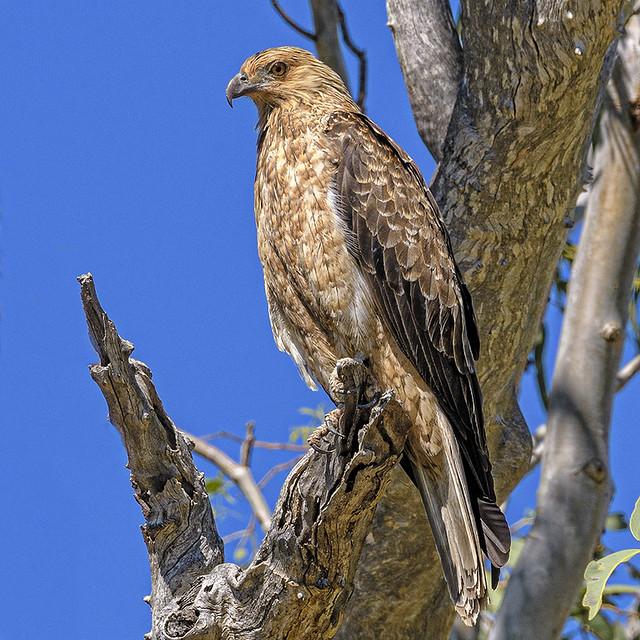 lagoon creek -a nesting whistling kite