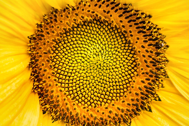 Center of a Sunflower 3-0 F LR 7-7-19 J192