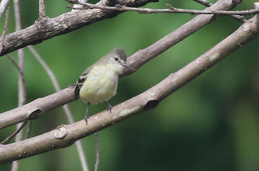 Yellow-bellied Elaenia - Elaenia flavogaster - Aguirre, Puntarenas, Costa Rica - June 16, 2019