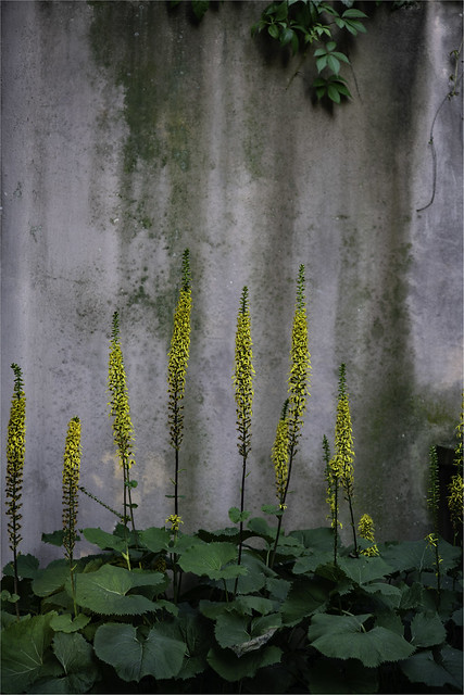 Ligularia sibirica, beauty in the shadow