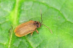 Water-Lily Leaf Beetle - Galerucella nymphaeae