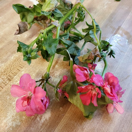 Pink Geranium I found on a shopping cart at our local Lowe's parking lot. It must have broken of when they loaded their plant into their car. #geranium #flower #foundcuttings