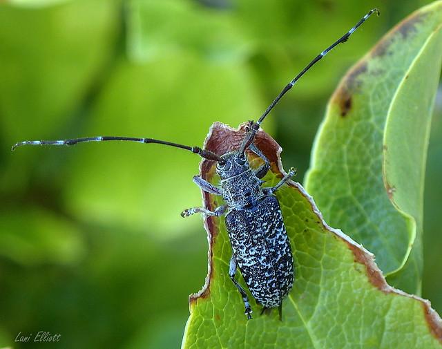 A Patterned Longicorn Beetle - Ancita crocogaster