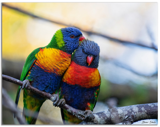 Rainbow Lorikeets Necking