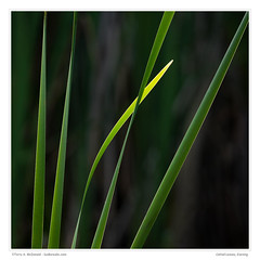 Cattail Leaves, Evening