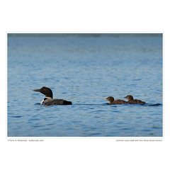 Common Loon Adult and Two Chicks (Gavia immer)