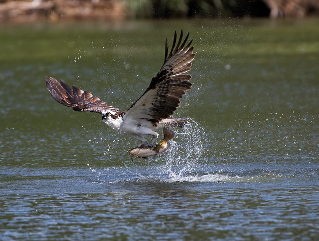 Osprey explodes from surface with Yellow Catfish