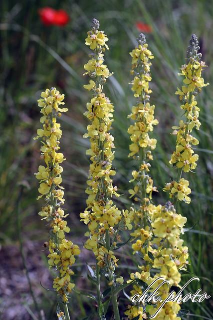 Königskerze- Braunwurzgewächse (Scrophulariaceae)
