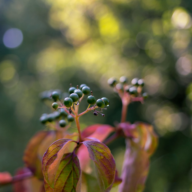 Bokeh berries | SONY ⍺7RII & Canon EF35/2 IS