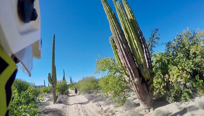 Gigantic cacti line the road