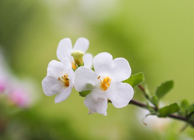 white ornamental bacopa