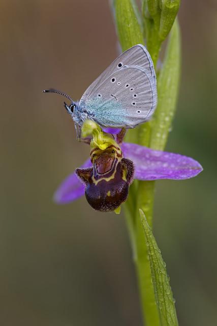 Ophrys apifera con Polyommatus