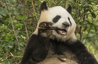 Giant Panda by JoCo Knoop
