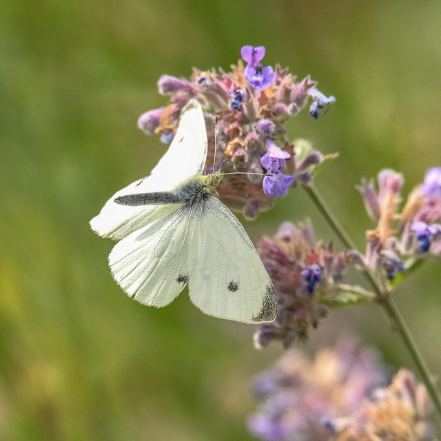 Flight of the cabbage white