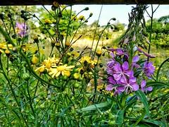 Wildflowers or weeds?