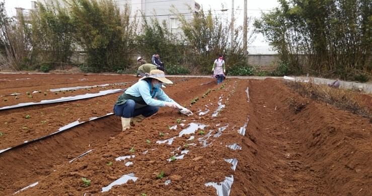 舖設農地膜及種植仙草。茶葉場胡智益提供