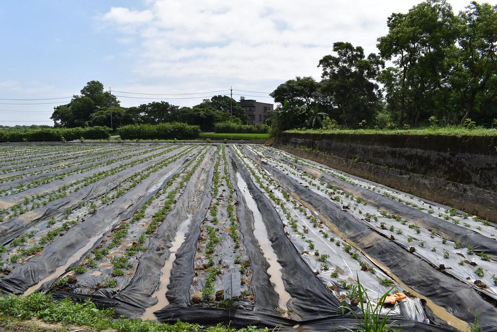 田間實驗不同材質農地膜使用狀況,中央立牌處為生物可分解農地膜。茶葉廠葉瑞恩提供