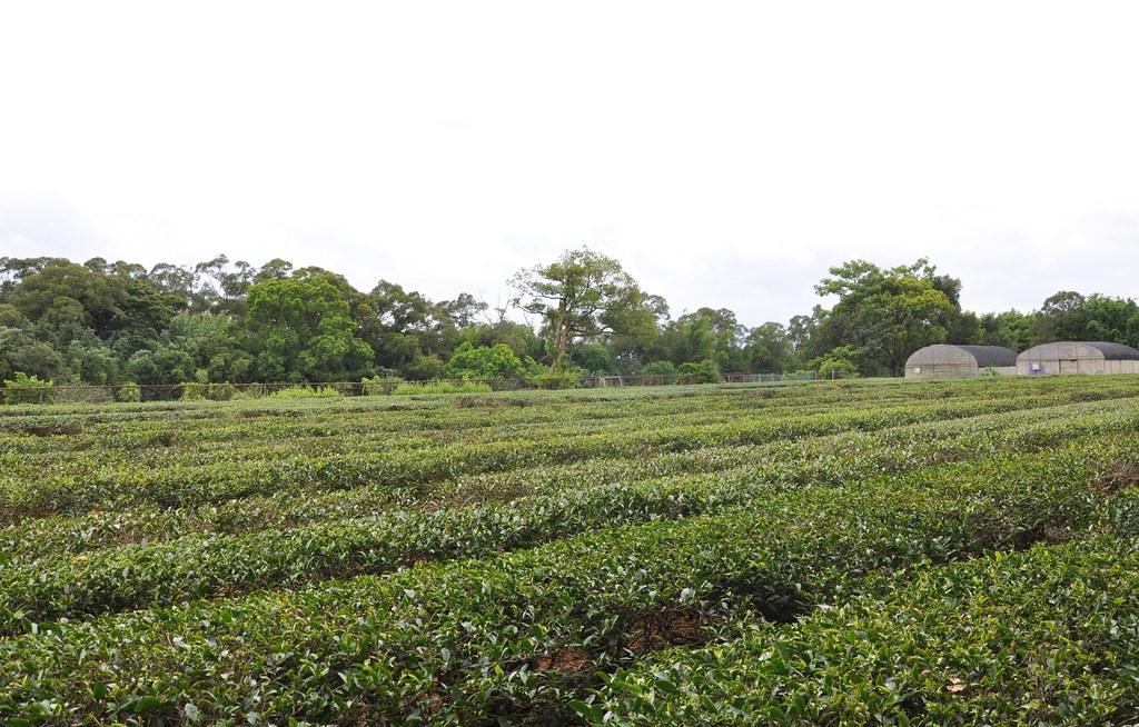 桃園楊梅茶葉場外頭種滿了茶樹。孫文臨攝