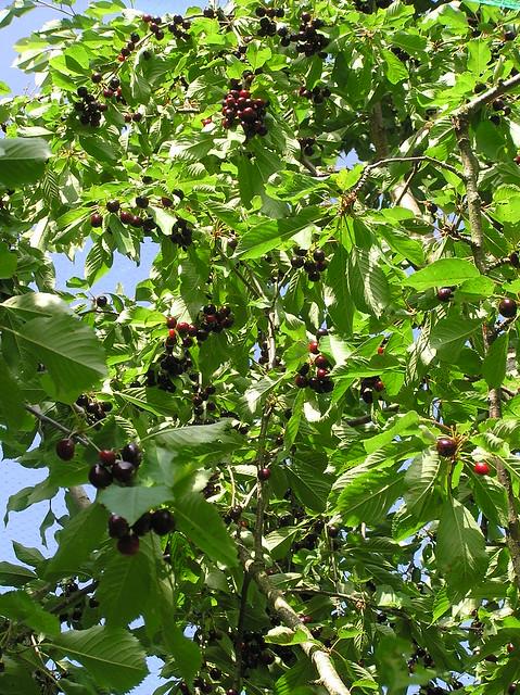 Prunus avium 'Tontu'