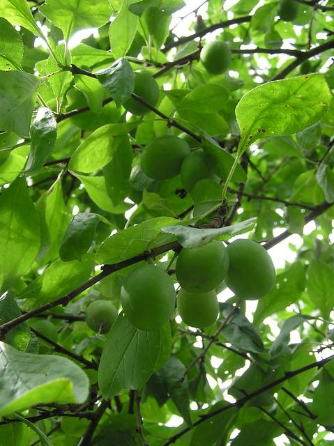 Prunus domestica 'Liisu'