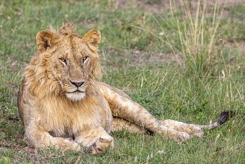 jeune lion-4374