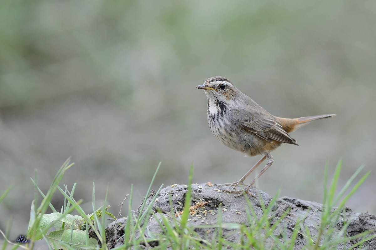 Bluethroat_6765
