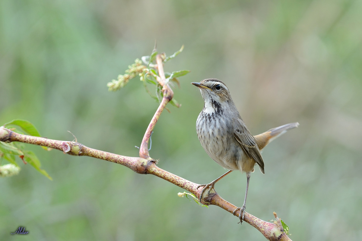 Bluethroat_6650