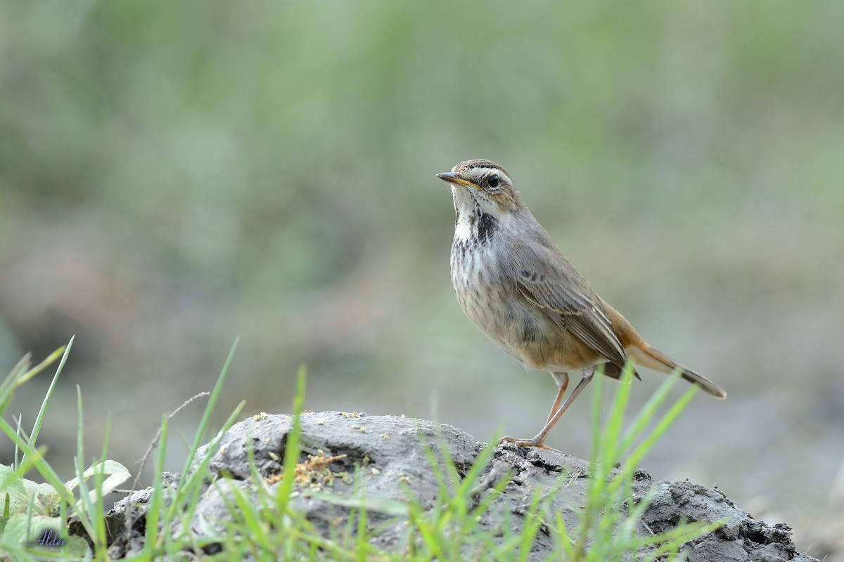 Bluethroat_6630