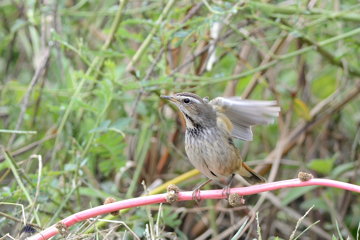 Bluethroat_6716