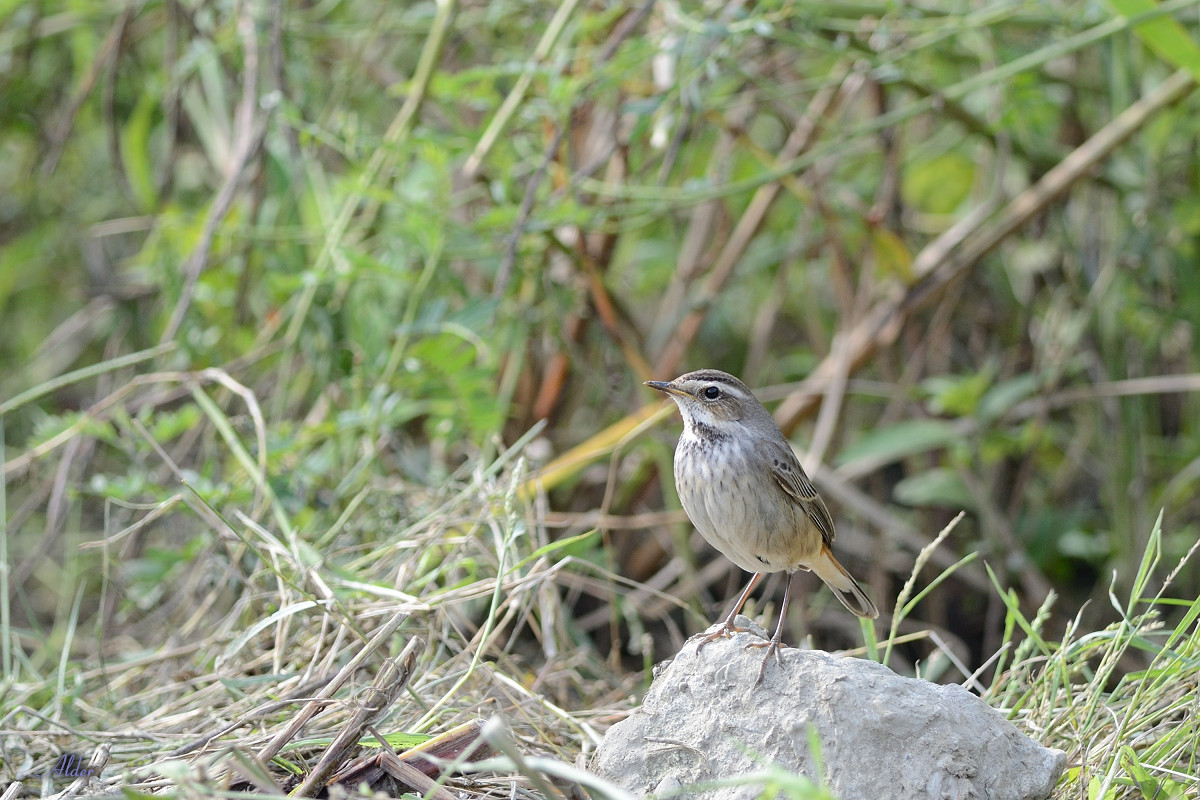 Bluethroat_6461