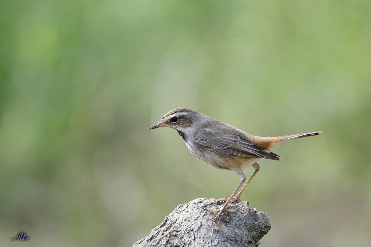 Bluethroat_6425