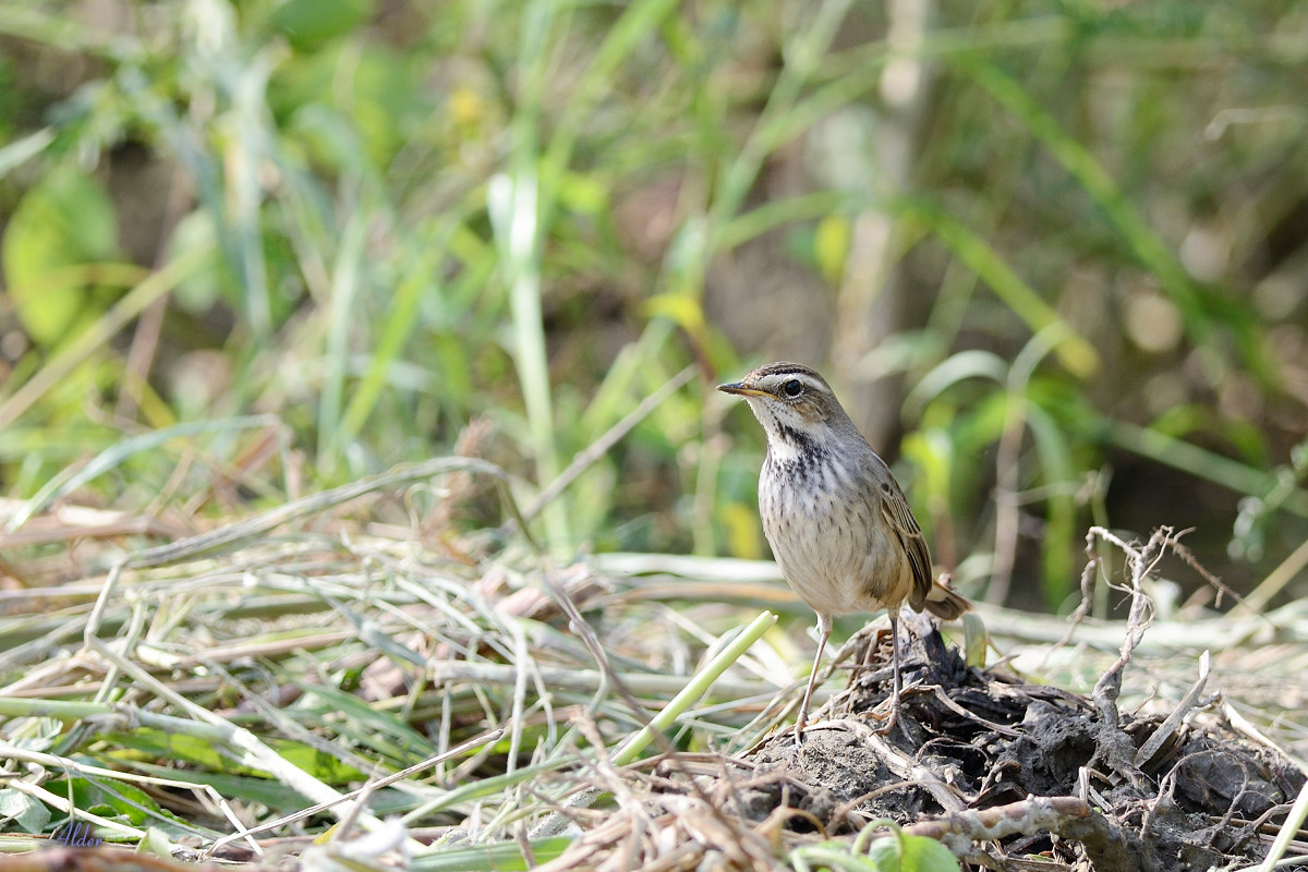 Bluethroat_6409