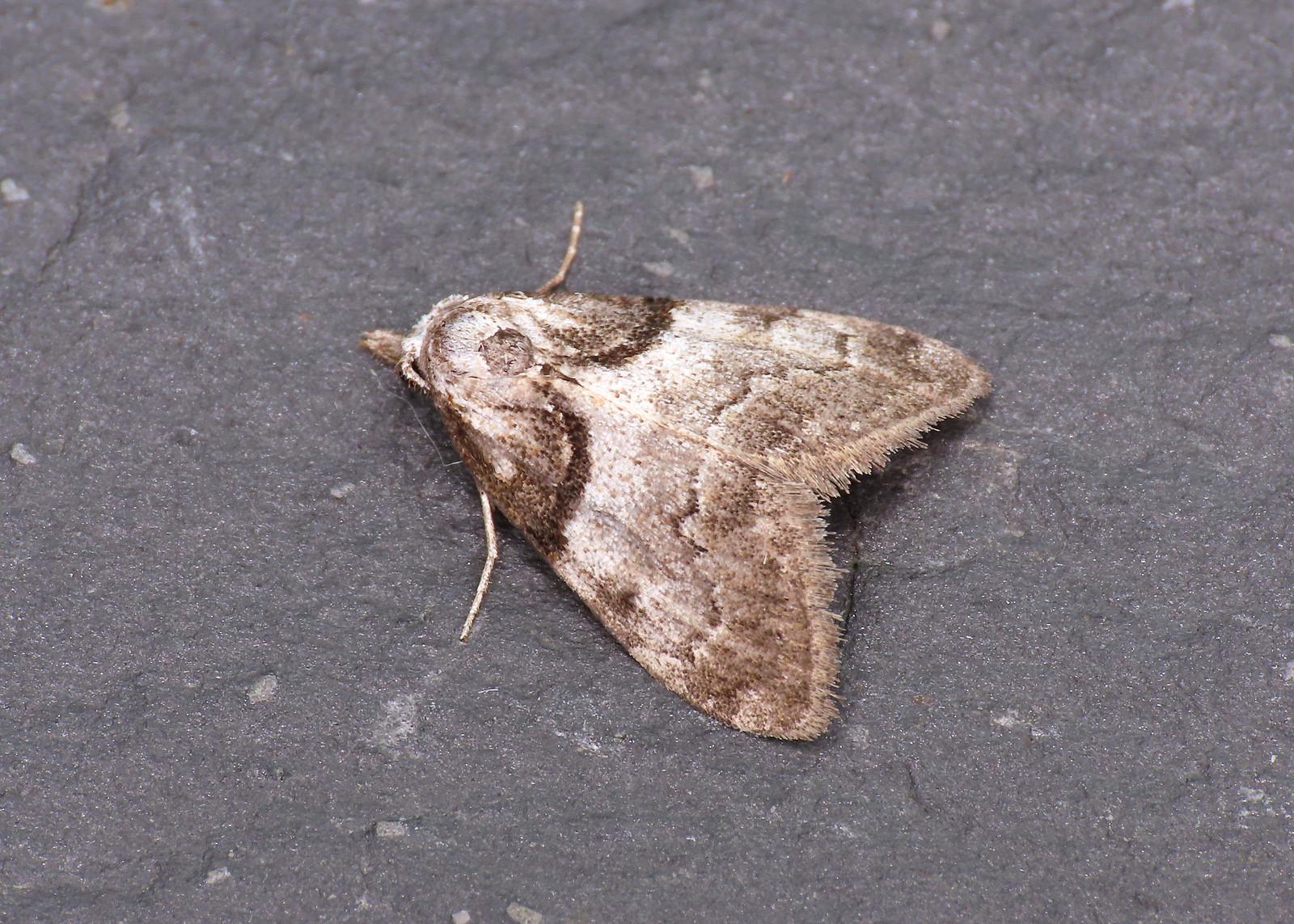 74.003 Short-cloaked Moth - Nola cucullatella