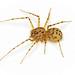 Arañas Tigre - Photo (c) Martin Cooper, algunos derechos reservados (CC BY)