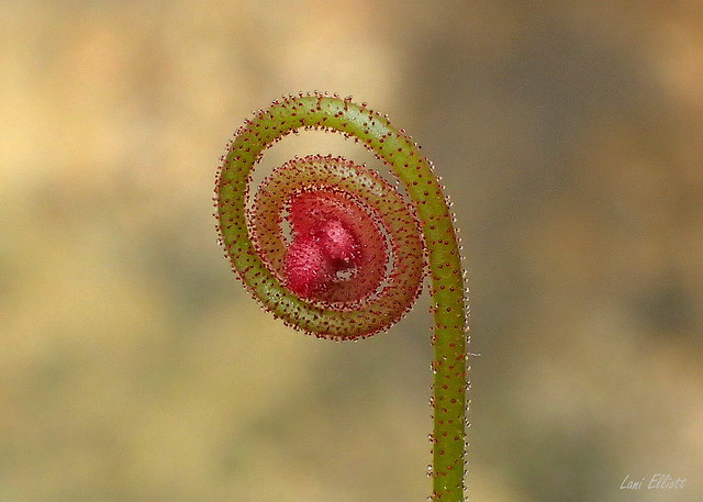 The Tiniest Sundew Bud I have Ever Seen