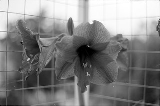 ORWO DN21 Test: Blüte hinter Gittern / blossom behind bars
