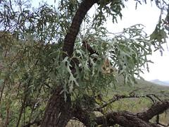 Cussonia paniculata_MS_19252068-29580627