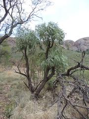 Cussonia paniculata_MS_19252068-29580624