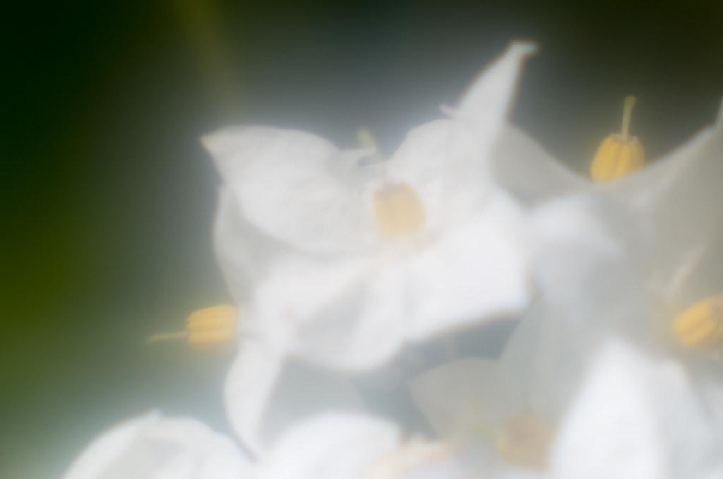 Solanum laxum Spreng.