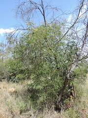 Senegalia ataxacantha_MS_19252420-29580959