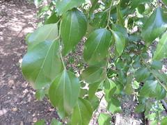 Ziziphus mucronata_MS_19252415-29580906